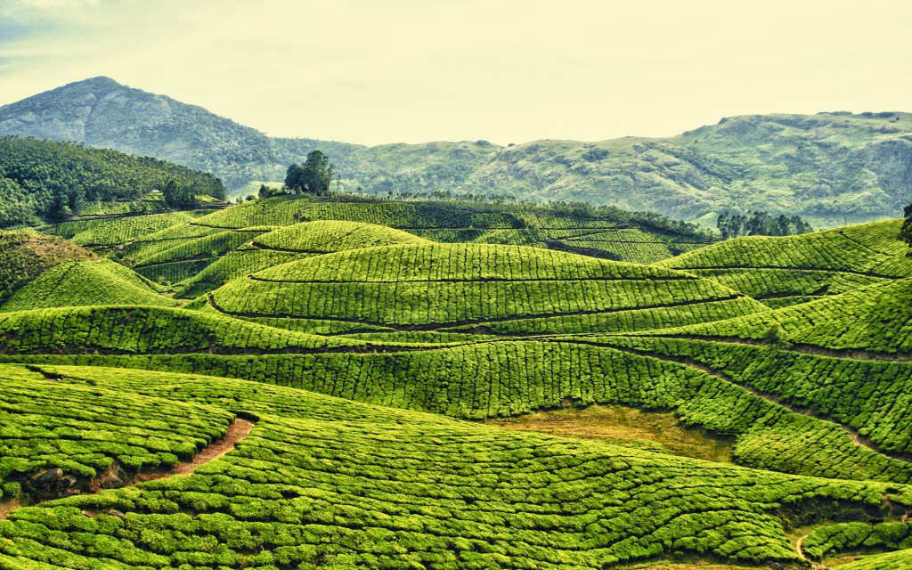 Tea-Plantation-in-Kerala-India