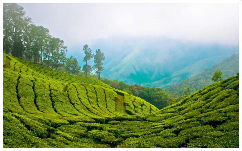 TEA PLANTATION IN INDIA 2