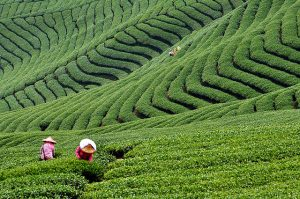 Loose Leaf Tea in the fields
