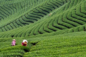 Loose Leaf Tea in the fields